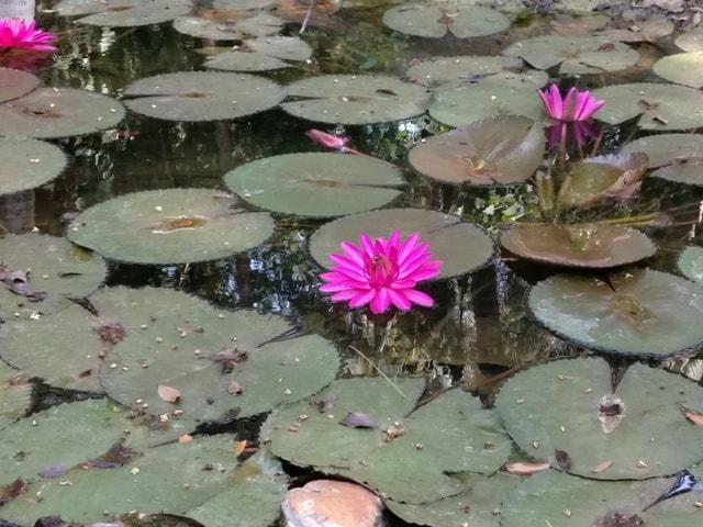 Lotus Flower at Kairali Village