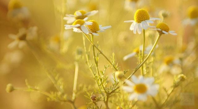 Home Remedies for Gas Problems - Chamomile